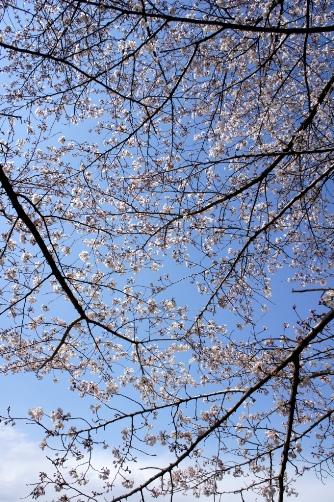 201204国立天文台桜
