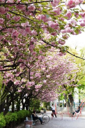 201004聖天さまの八重桜②