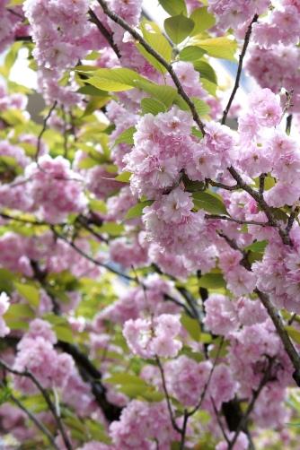201004聖天さまの八重桜①