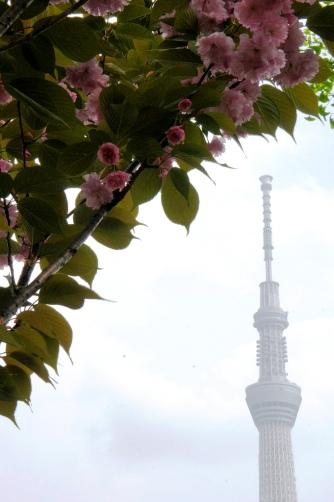 201004聖天さまの八重桜とスカイツリー