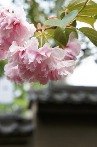 201004聖天さまの八重桜③