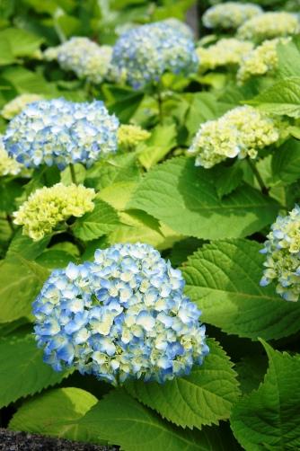 三社祭・紫陽花