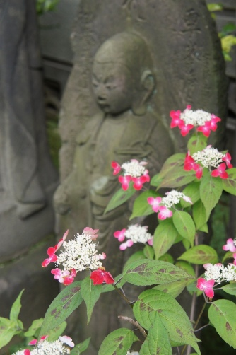谷中2012赤い紫陽花②