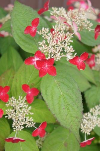 谷中2012赤い紫陽花