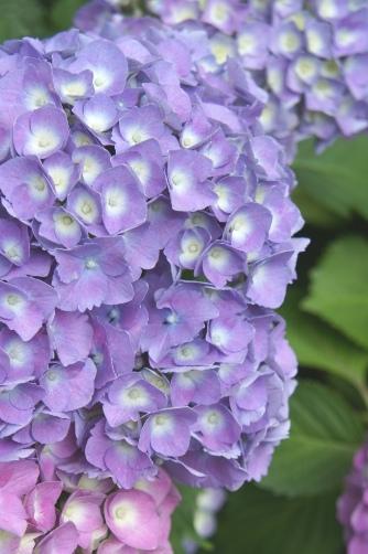谷中2012紫の紫陽花