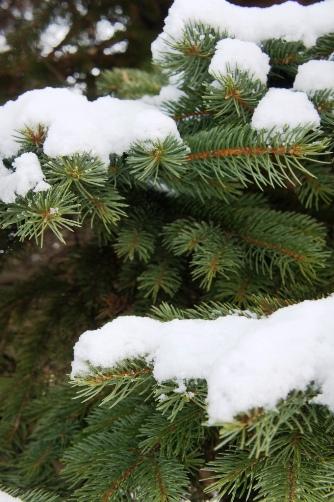雪持ちのもみの木