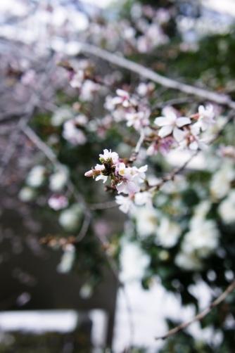 日枝神社の桜②