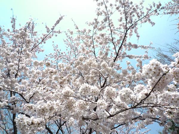 Cherry Blossoms 2012_4