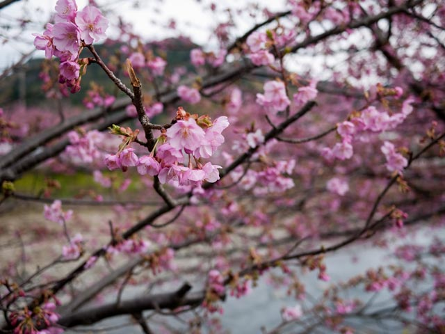 河津桜 06