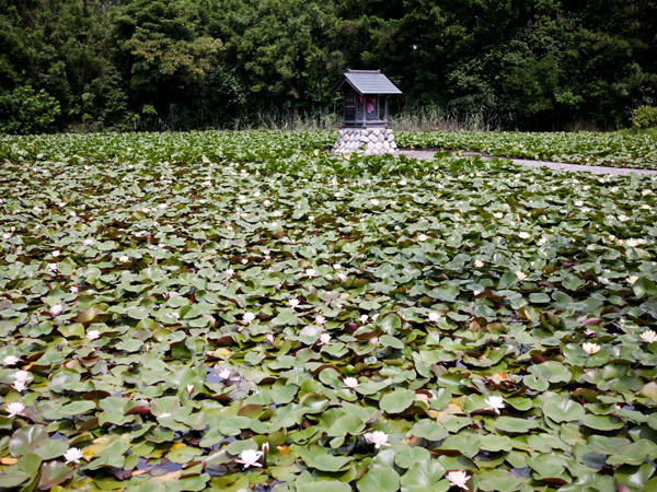 松秀寺の睡蓮