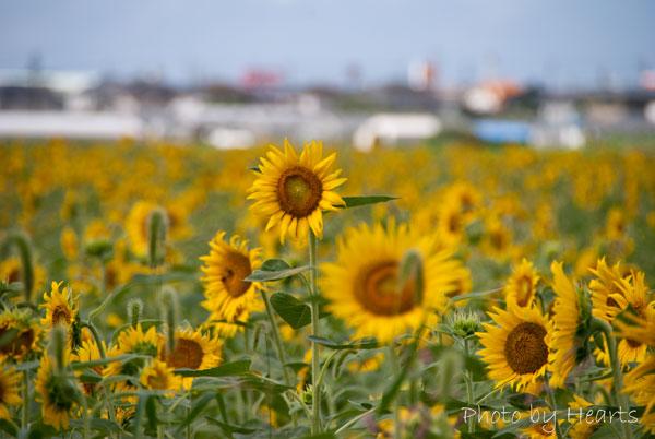掛川市文化会館シオーネのとなりのひまわり畑