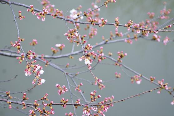 100326 077  桜