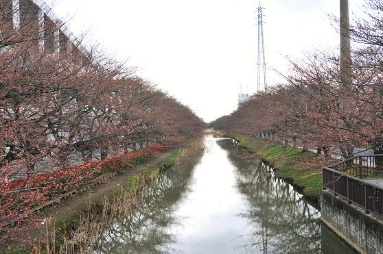 100326 086  桜並木