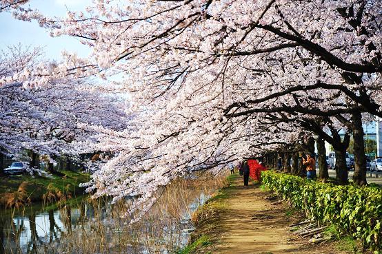 1004043 017 桜並木