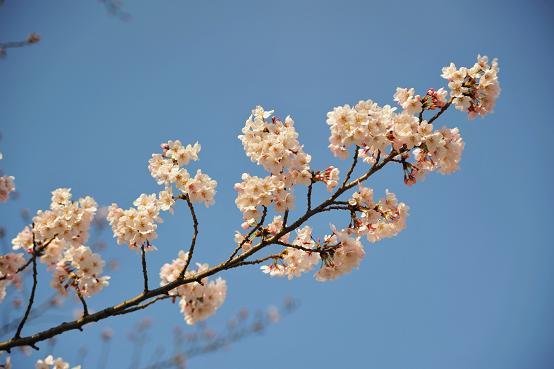 1004043 073  桜