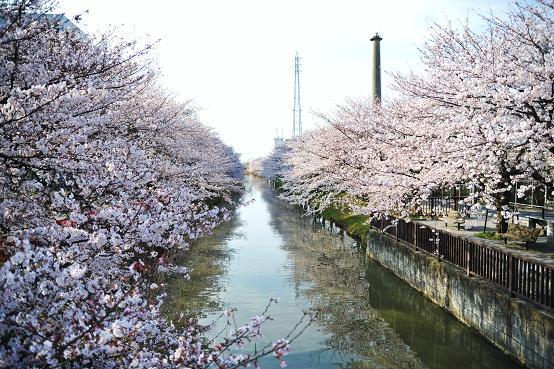 1004043 086 桜並木