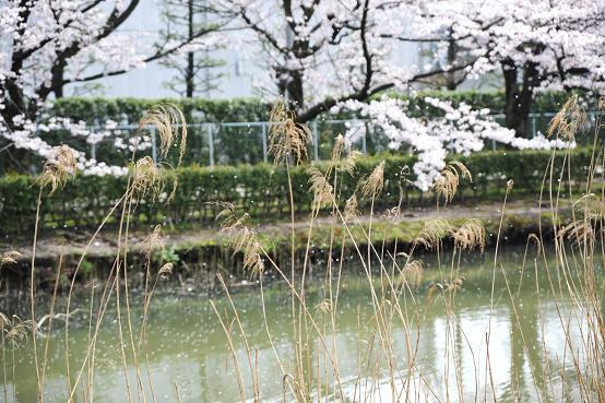2010.04.06 044 桜ふぶき