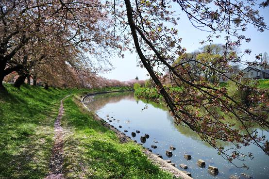 100415 036  越谷桜並木