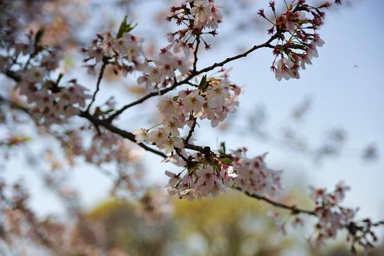 100415 052  桜