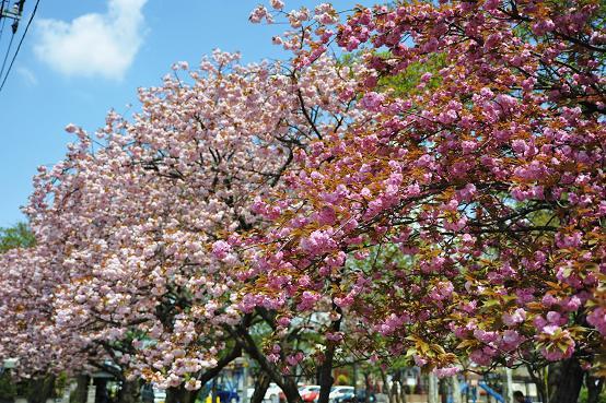 100424 047  八重桜