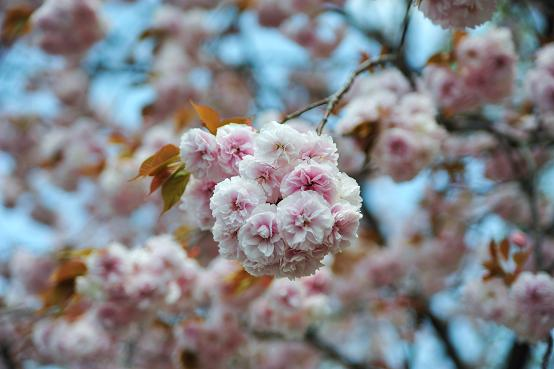 100424 050  八重桜