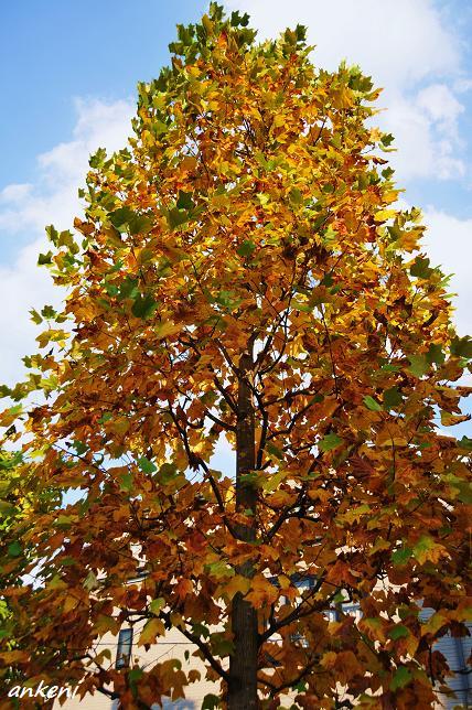 101109 056  紅葉樹