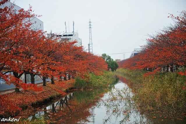 101114 018  桜並木