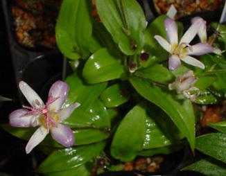 淡紫ホトトギス