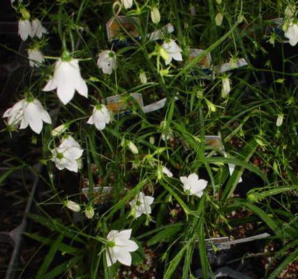 白花イワシャジン