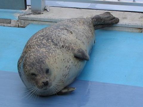 wiki_gomafu_Spotted_Seal_mombetsu.jpg