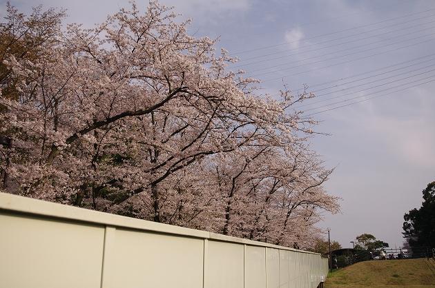 到津の森公園 桜