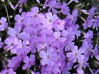 DVC00734  芝桜