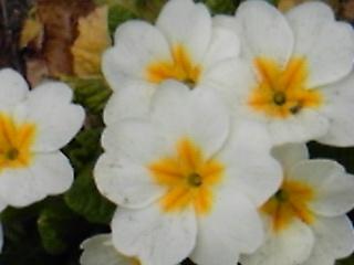 DVC00738  白い花