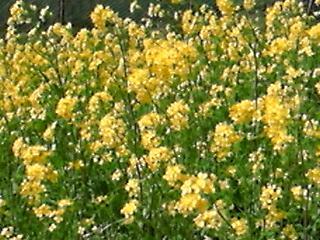 DVC00807  菜の花群
