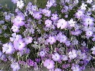 DVC00952  うすむらさきの花