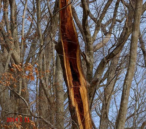 s-裂けた木