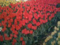 チューリップ畑 A