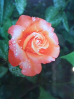 露にぬれたオレンジ薔薇