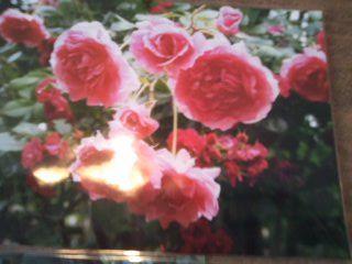赤薔薇群生
