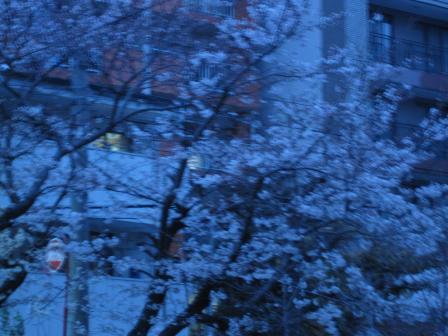 夜桜 3月28日