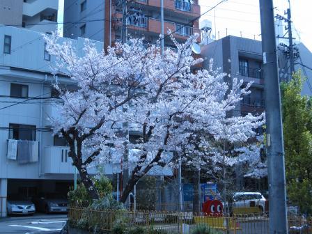 桜4月3日