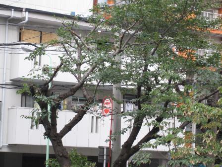 桜の木 9月