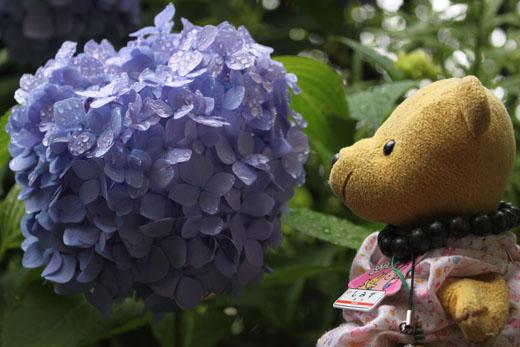 紫陽花を見る 110618