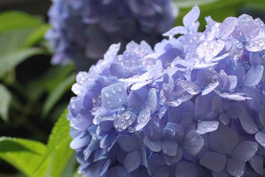 紫陽花と水滴 110618
