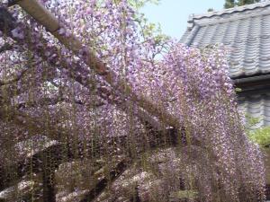 ふじ(20100505)
