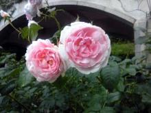 香りの魔法に魅せられて-ピンクバラ