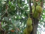 ジャックフルーツの木