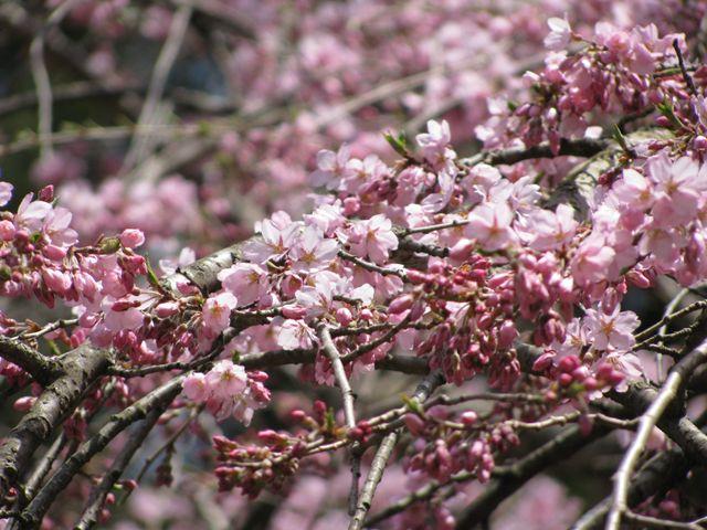 10.5.5しだれ桜-3
