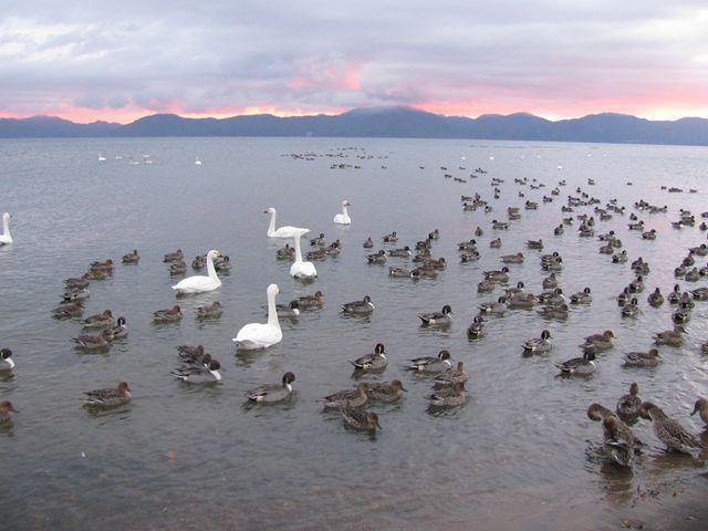 10.11.16白鳥定点観測・崎川浜
