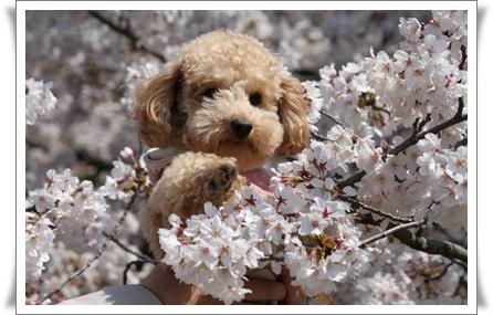 桜にうっとり
